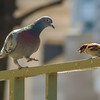Pigeon and sparrow eating piece of bread