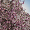 magnolia tree in springtime