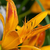 Orange bud of day-lily flower