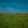 field with green grass and red poppies against the sky