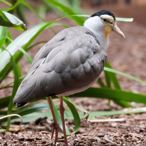 The Masked Lapwing (Vanellus miles),previously known as the Masked Plover and often called the Spur-winged Plover or just Plover it's a native bird to Australia and self-introduced bird to New Zealand