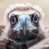 young baby vulture raptor bird