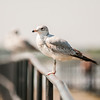 seagull standing on rail