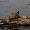 Turtle Sunning Himself On A Log