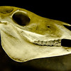 Profile of skull of domestic horse on a black background (Equus caballus)