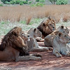 Lion, Scientific Name: Panthera leo, Location: South Africa