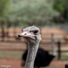 Common Ostrich, Scientific Name: Struthio camelus, Location: South Africa