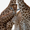 Giraffe, Scientific Name: Giraffa camelopardalis, Location: South Africa