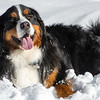 Happy Bernese Mountain Dog In Winter Snow