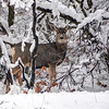 Snow Deer - Wasatch Front - Utah
