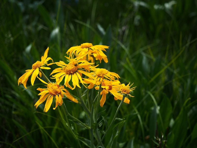 Sneezeweed<br /> Little Colorado River