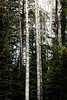 Aspens in the pines<br /> West Baldy Trail<br /> White Mountains
