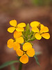 Orange Wallflower<br /> Fay Canyon<br /> Sedona