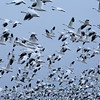 Blast Off - early morning Snow Geese