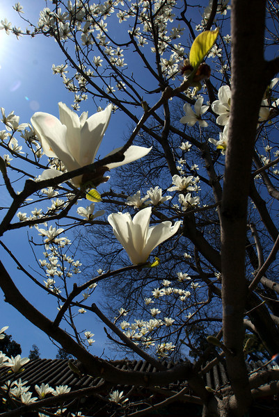 BEIJING. SUMMER PALACE. MAGNOLIA BLOSSOMS.