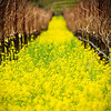 Depth of Mustard FieldNapa, California  In a veritable a riot of yellow, the mustards welcomed spring.