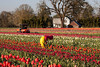 Wooden Shoe Tulip Farm_027