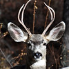 """11 NOV 2009 - Mule Deer we named """"Two by Two"""", his name might change next year, Los Alamos, New Mexico"""