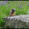 10 JUL 2006 - Marmot and Wildflowers, Coolidge Ghost Town in the Pioneer Mountains, west of Dillon, Montana