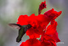 Humming bird relishing the nectar from Gladiolus