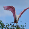 Spoonbill landing
