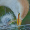 Cattle egret hatchling