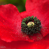 Wet red poppy