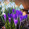 3-17-15: Crocus and snowdrops
