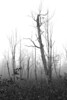 Black and white vertical - spooky looking trees in the fog