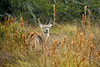 Four point White-tail buck