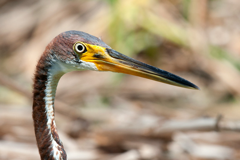 A Tricolored Heron