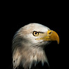 Portrait of an Eagle Part II  © Brian Glantz