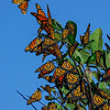 Migrating Monarch butterflies.  Westport, Massachusetts  © Brian Glantz