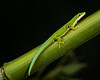 Peacock Day Gecko on Bamboo