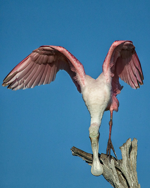 Roseate Spoonbill with Raised Wings