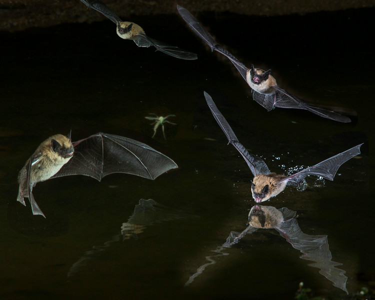 Bat Frenzy Composite with Hapless Insect