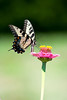 White Swallowtail Butterfly