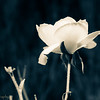 A single white rose is surviving winter in our garden.
