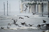 Pelicans struggle to fly into the fierce winds of Hurricane Isaac along the beach in Gulfport on Wednesday.