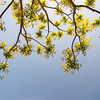 Branches of acacia trees with leaves on the background of the sky