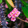 Thorny Succulent with pink Blooming mini flowers