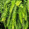 Beautyful leaves of fern (Cyathea lepifera)