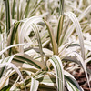 white ornamental grass growing in botanical garden