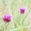 Thistle flower in the meadows. Onopordum Acanthium. Spiky plant in wild