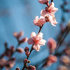 Spring peach blossom in garden with blue sky background