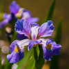 Iris flower on green blurred background, photo taken outdoors, shallow DOF.