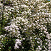 Spiraea blossoms white flowers