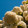 Viburnum opulus Compactum bush with white flowers (selective focus on flowers)