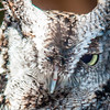 Eurasian Eagle Owl bird (Bubo bubo) face close-up