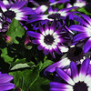 Vibrant bright purple with white daisy flowers